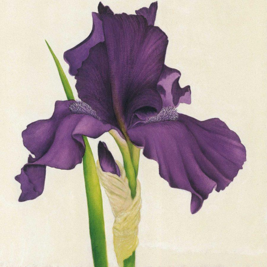 Dark Purple Iris