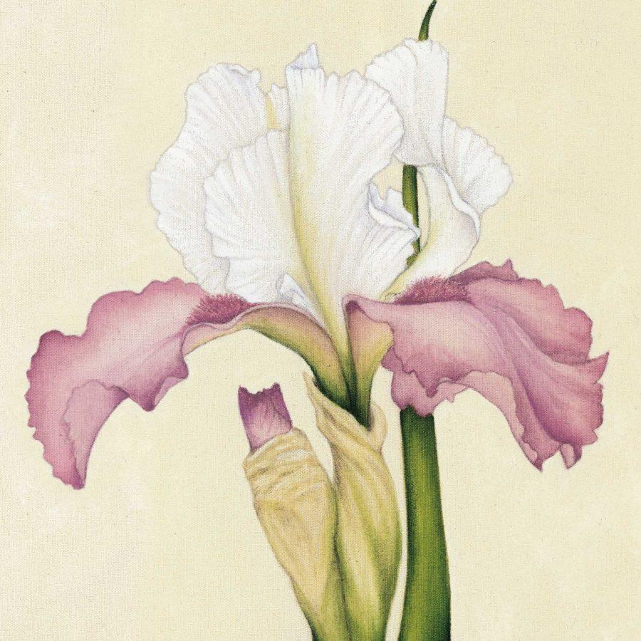 Pink And White Iris