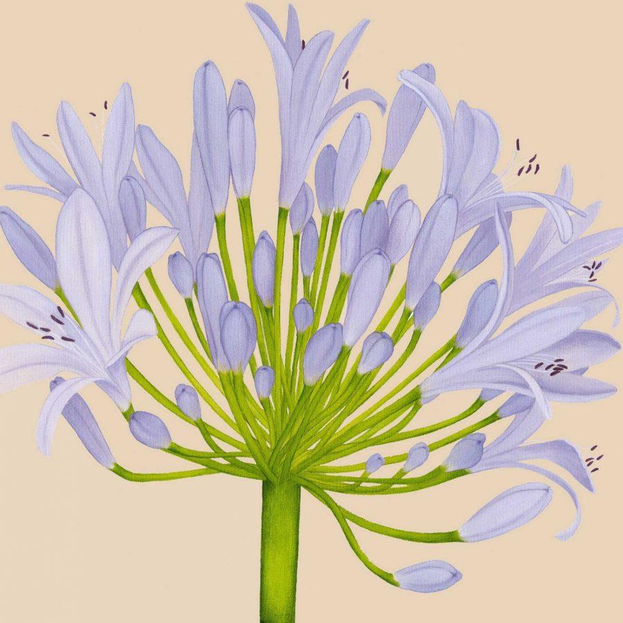 Pale Blue Agapanthus