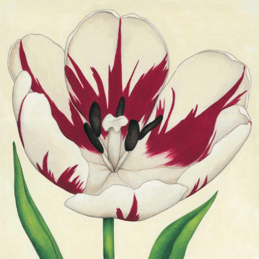 Cream Striped Tulip